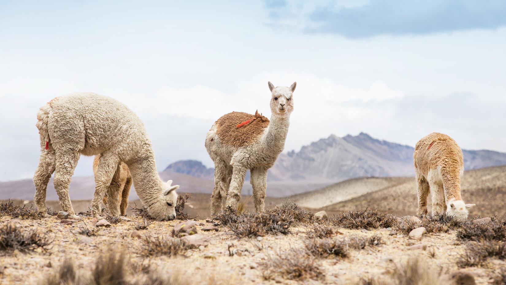 Elvang kuddar, plädar i alpackaull